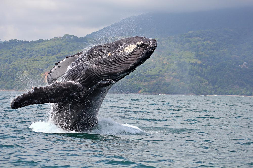 Island Trader Vacations Reviews One of the World's Best Whale Watching Destinations